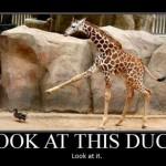Regardez, un canard