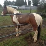 Un cheval coincé