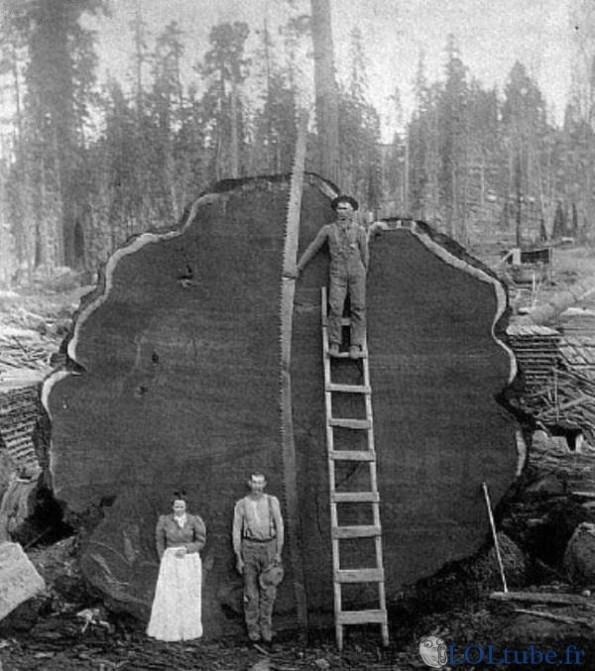 Scier un arbre énorme à la main