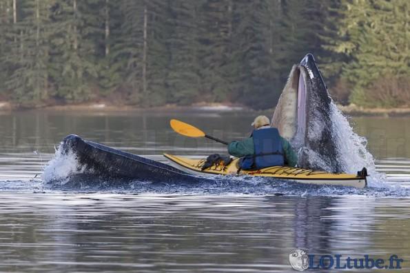 Attaque de baleine
