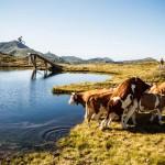 Photobomb de vache