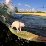 Souris surfeuse