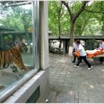 Tigre blessé