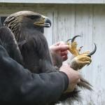 Griffes d'aigle...
