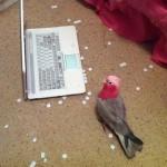 Ne laissez pas un perroquet avec un ordinateur
