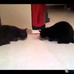 Deux chats et une seule gamelle