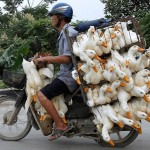 Transport de canards