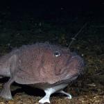 Un poisson à pattes
