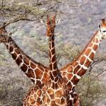 Girafe mutante !