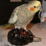 Perroquet suicidaire