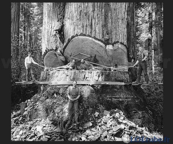 Sciage-dun-enorme-tronc