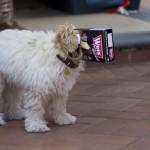 Un chien à tête carrée