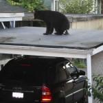 Un ours chie sur mon toit