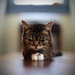 Grumpy cat chaton