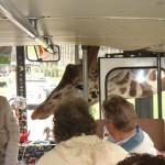 Une girafe dans un bus