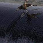 Canard surfeur
