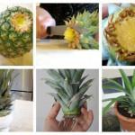 Faites pousser votre propre ananas