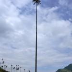 Palmiers hauts