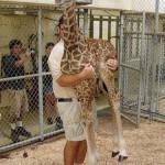 Peser une girafe