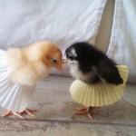 Poussins en jupe