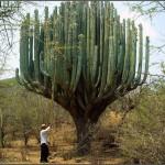 Nettoyage de cactus
