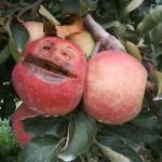 C'est l'histoire d'une pomme