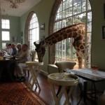 Une girafe à un repas
