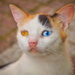 Chaton à deux yeux différents