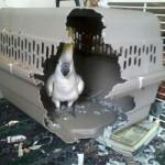 Un perroquet en cage