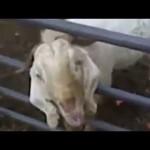 Game of thrones par des chèvres