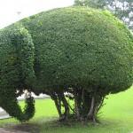 Haie éléphant