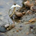 Un serpent mange un poisson