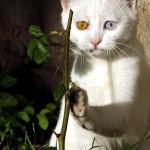 Chat aux yeux multicolores