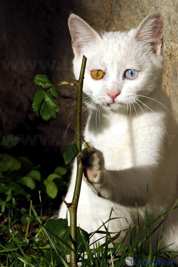 Chat aux yeux multicolores