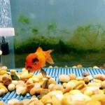 Un poisson Hitler