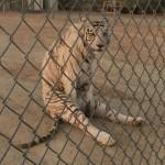 Tigre assis bizarement