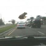 Invasion de grenouille géante